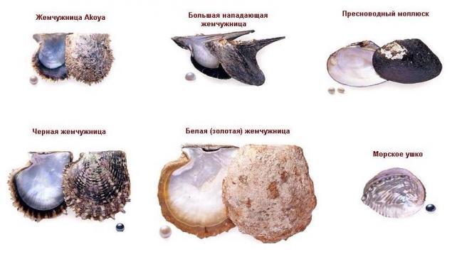 Виды жемчуга и маллюсков